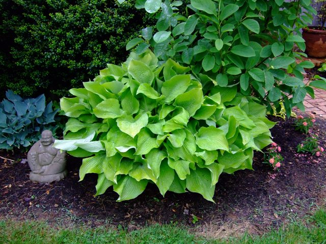 Who Has It Find My Hosta